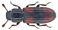 Bitoma crenata (Fabricius, 1775) (15502292772).png