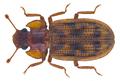 Bitoma elevata (Pascoe, 1863) (28982383050).png