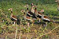 Black-bellied Whistling Ducks (Dendrocygna autumnalis) (28205924573).jpg