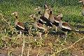 Black-bellied Whistling Ducks (Dendrocygna autumnalis) (28205924573).jpg