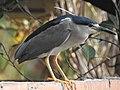 Black-crowned night heron from Payyannur Town DSCN9099.jpg