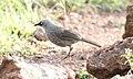 Black-lored Babbler (Turdoides sharpei) (32704281208).jpg