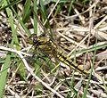 Black-tailed Skimmer . Female - Flickr - gailhampshire.jpg