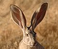 Black-tailed jackrabbit (6785302534).jpg