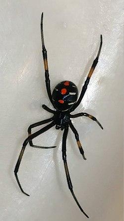 Black-widow-red-spots-yellow-legs.jpg
