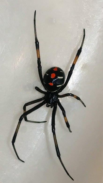 Black-widow-red-spots-yellow-legs., From InText