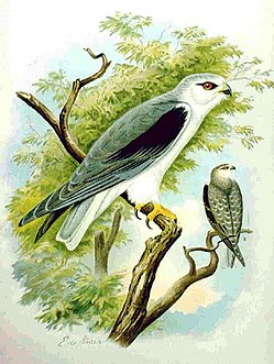 Black-winged Kite NAUMANN.jpg