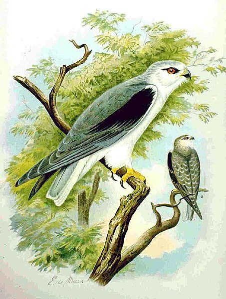 453px-Black-winged Kite NAUMANN