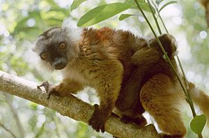 Nosy Be - A female black lemur and her offspring at the Lokobe Reserve, Nosy Be, November, 2001