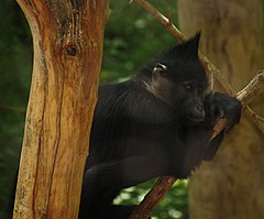Black Mangabey 002.jpg