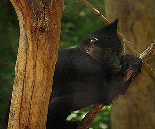 Black crested mangabey Species of Old World monkey