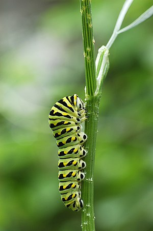 image of Black Swallowtail Papilio polyxenes Vertical