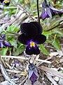 Black Viola flower.jpg