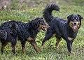 Black and Tan English Shepherds.jpg
