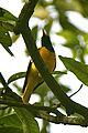Black headed Oriole - 2.jpg