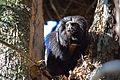 Black lion tamarin Pontal do Paranapanema 13.jpg