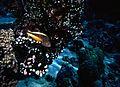Blackside Hawkfish Paracirrhites forsteri (7944484798).jpg