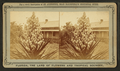 Blossom from the Spanish bayonet, from Robert N. Dennis collection of stereoscopic views 4.png