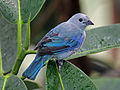 Blue-gray Tanager RWD3.jpg