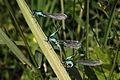 Blue-tailed Damselfies (Ischnura elegans) two males and female (typica).jpg