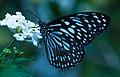 Blue-tiger-from-kottayam-kerala.jpg