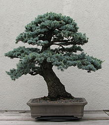 Blue Atlas Cedar, 1950-2007.jpg