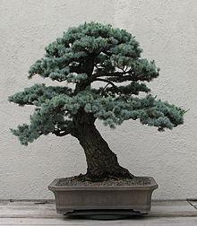 Bonsai Voor Binnen.Bonsai Wikipedia