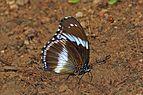 Blue diadem (Hypolimnas salmacis salmacis) male underside.jpg