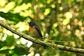 Blue throated Flycatcher Namdapha IMG 5613 (cropped).jpg