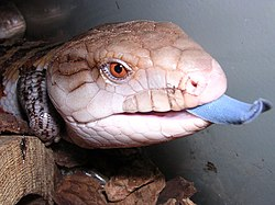Blue tongued skink.jpg