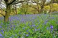 Bluebells, Newton Wood - geograph.org.uk - 1290454.jpg