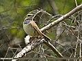 Bluethroat (Luscinia svecica) (26875030384).jpg