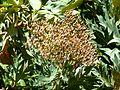 Bocconia frutescens, vrugstadiumbloeiwyse, Manie vd Schijff BT, a.jpg