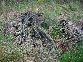 Auchentiber - Bog wood at Stumpy Knowe near South Auchenmade.