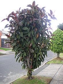 Gummibaum wikipedia - Epiphyten zimmerpflanze ...