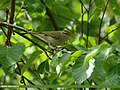 Booted Warbler (Iduna caligata) (24842054395).jpg
