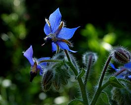 Borago officinalis Blue.JPG