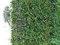 Bornem Brandheide 38 Beukenhaag hoogstamboomgaard (8) - 230220 - onroerenderfgoed.jpg