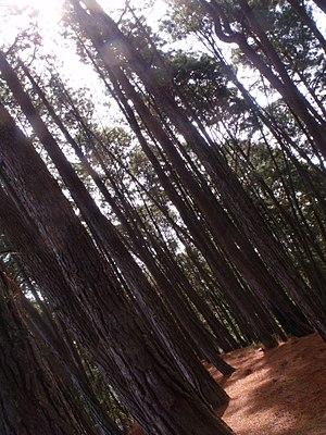 Macarao National Park - Image: Bosque de pinos en La Culebra