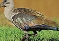 Bostrychia hagedash02.jpg