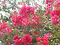 Bougainville(pianta) a Mindelo.jpg