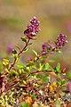 Breitblättrige Thymian (Thymus pulegioides)-1.jpg