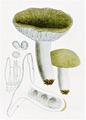 Bresadola - Russula heterophylla.png