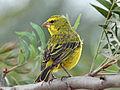 Brimstone Canary RWD2.jpg