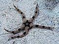 Britle star (Ophiolepis superba) (24463915368).jpg