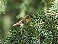 Brooks's Leaf Warbler (Phylloscopus subviridis) (43219880911).jpg
