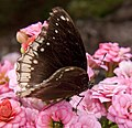 Brown Butterfly (5598299414).jpg