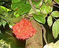 Brownea grandiceps, the Rose of Venezuela (9338106033).jpg