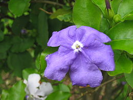 Brunfelsia latifolia (Flower) 2