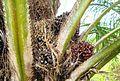 Buah kelapa sawit (21).JPG